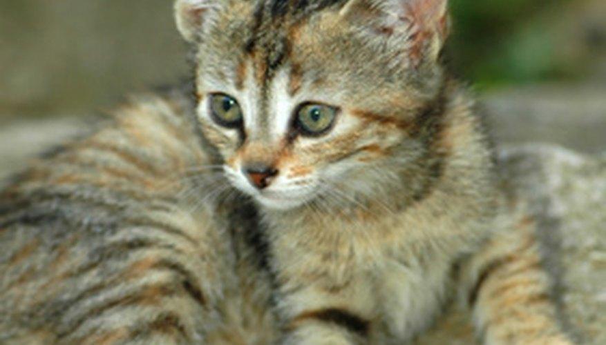 Brittle bone disease occurs in kittens