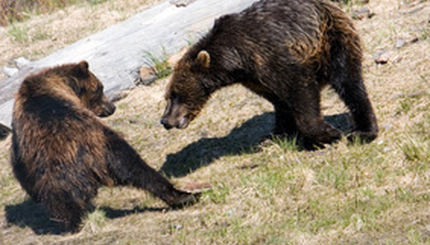 Both brown and black bears inhabit North America's Pacific temperate rainforests.