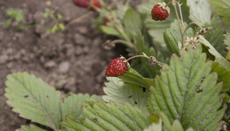 Ants like sweet strawberries.