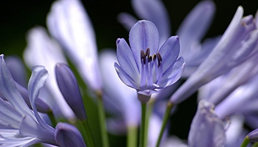 Agapanthus plants need well-drained soil to stay healthy.
