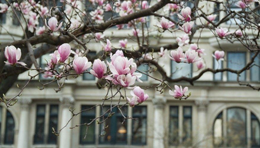 Magnolia trees have large fragrant flowers.