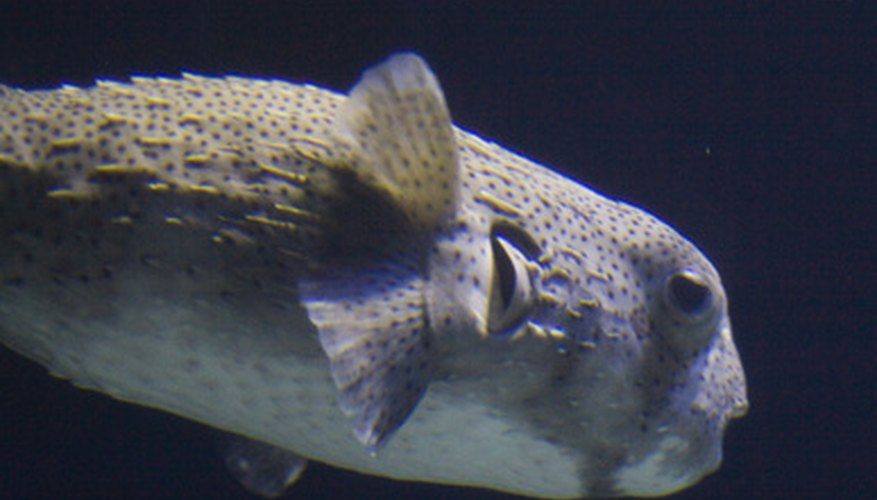 Preserve puffer fish for taxidermy in a mixture of formaldehyde and water.