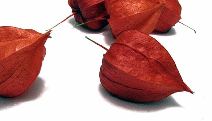 Physalis alkekengi is called Chinese Lantern, named for the fruit husks.