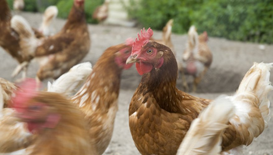 For centuries, chickens have provided us with food, feathers and bones for tools.