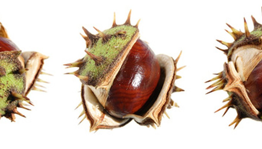 Horse chestnuts may also help relieve menstrual cramps, cough and enlarged prostate.