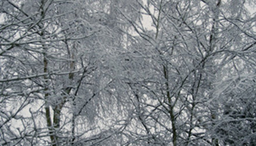 Robert Frost wrote a famous poem about birches.