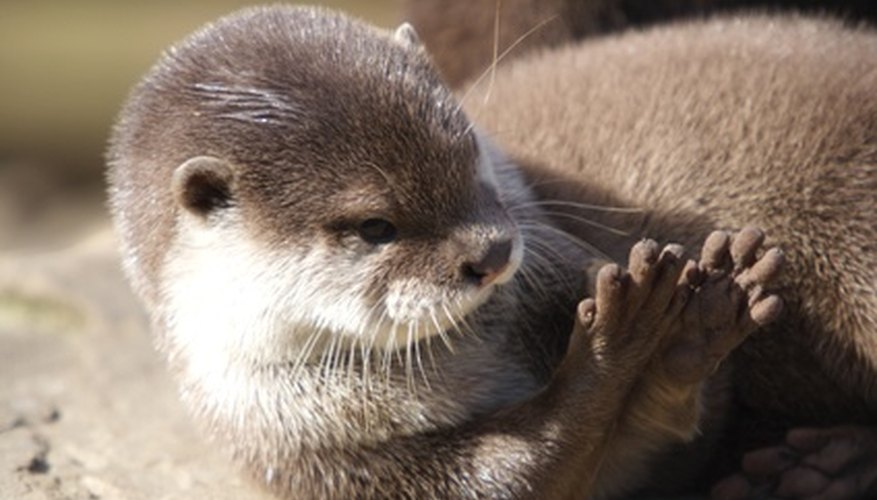 The otter's dense fur allows it to remain in water without its skin getting wet.