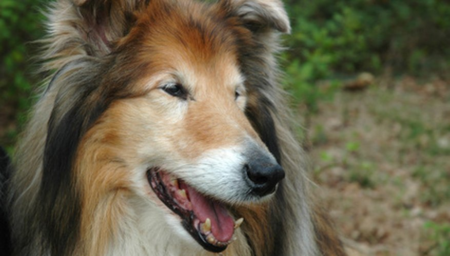 Collies have thick coats