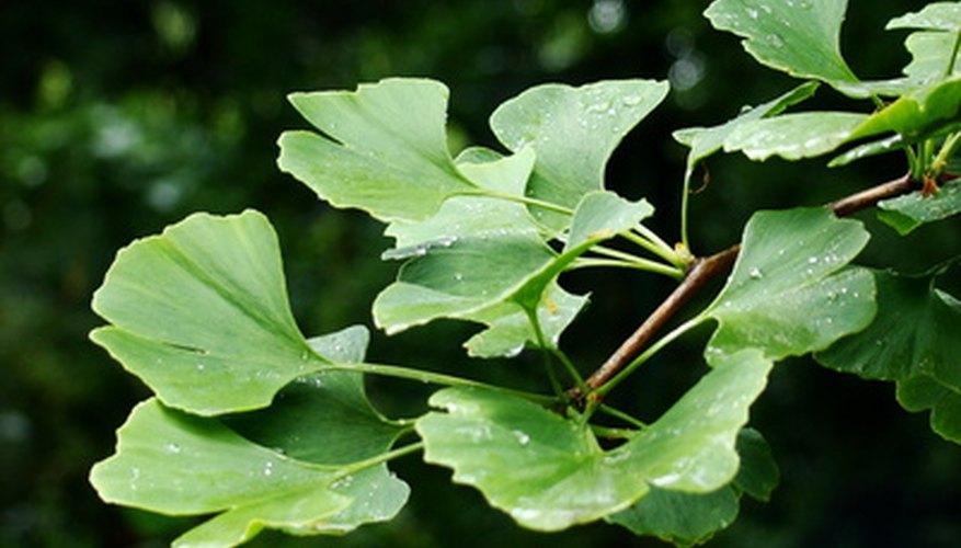 Ginkgo trees have fan-shape, bright-green leaves.