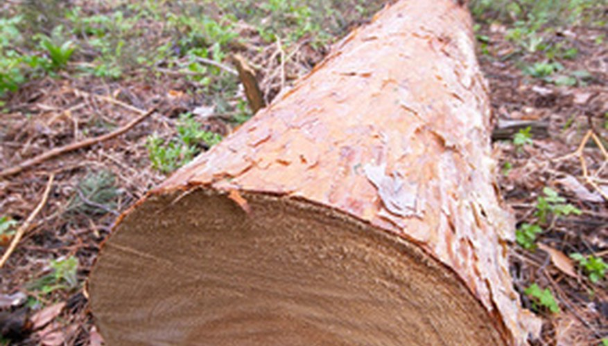 A Stihl 070 chain saw makes quick work of cutting a tree into stove lengths.