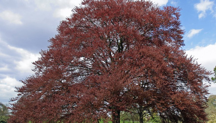 Copper beech trees can be plagued by fungi.