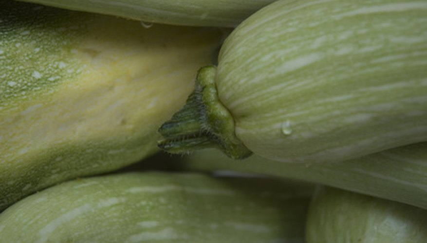 Zucchini often recovers from a split stem.