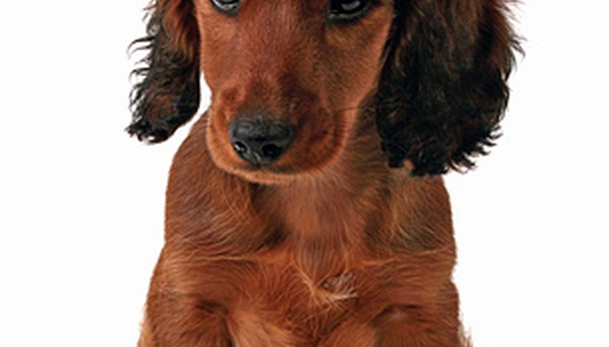Dachshunds were bred to hunt badgers.