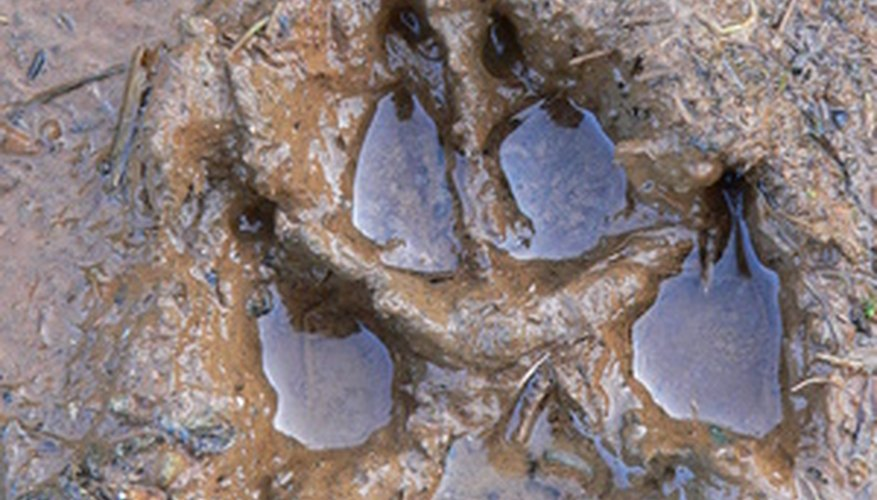 A canine's paw print is distinct from a feline's.