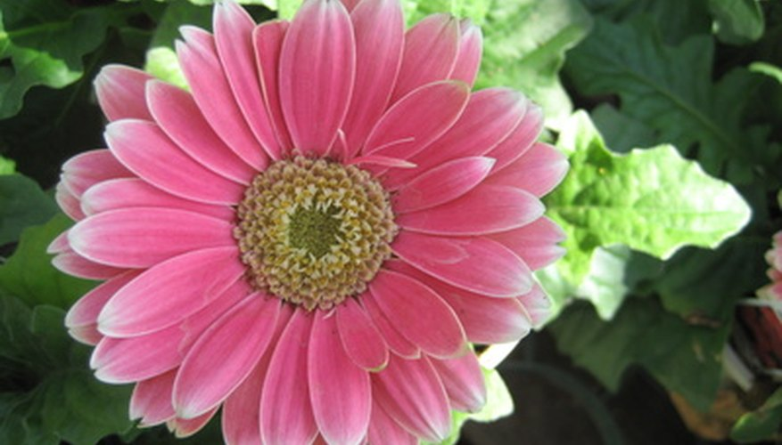 Gerbera daisies are related to sunflowers.