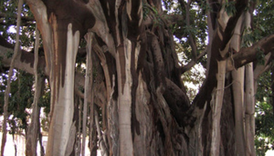 A banyan fig with massive trunk and aerial roots for support.