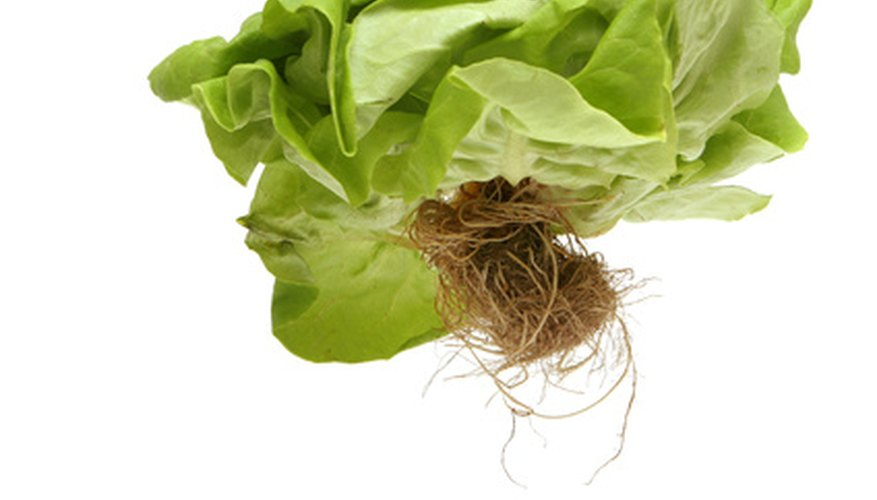 Lettuce is a valuable, fast-growing hydroponic crop.