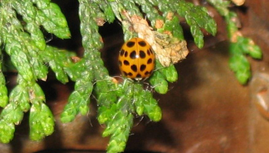 Western red cedar foliage emits a slight fragrance.