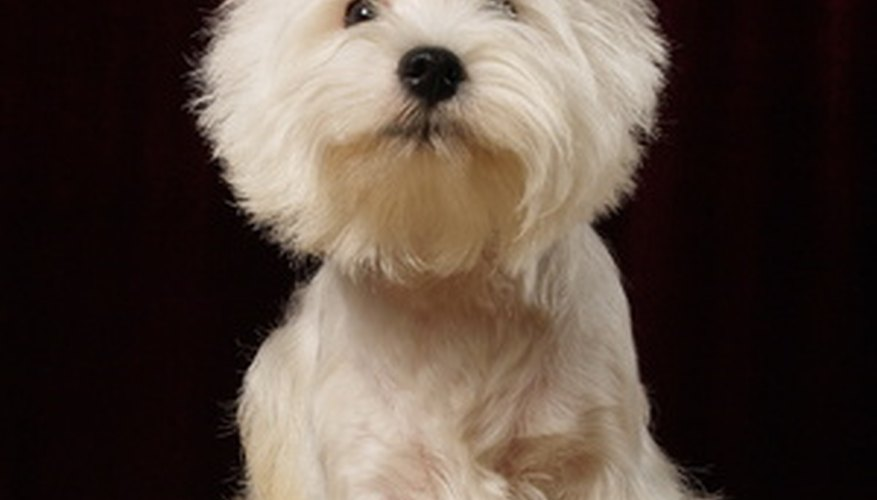 Depression in Westies usually means a trip to the vet.