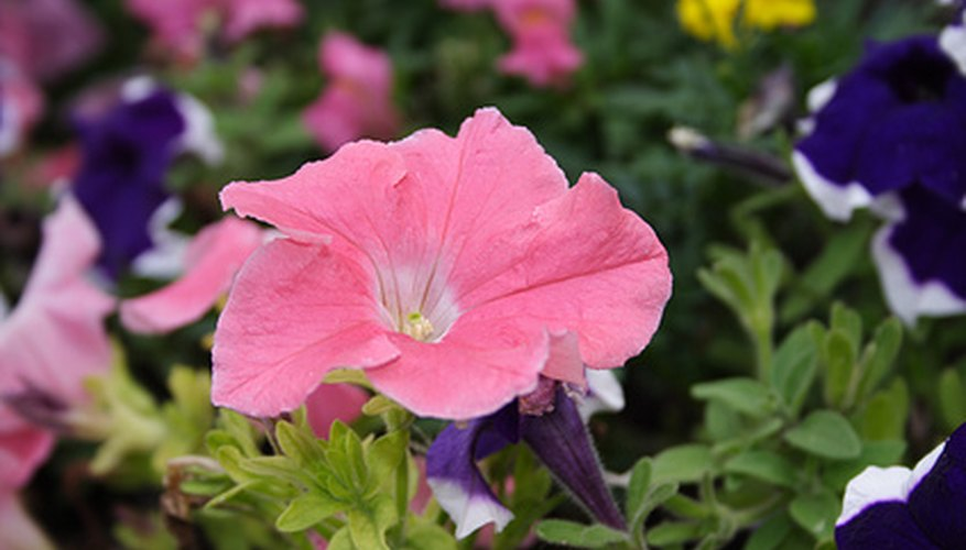 Several different species of insect feed on petunias.