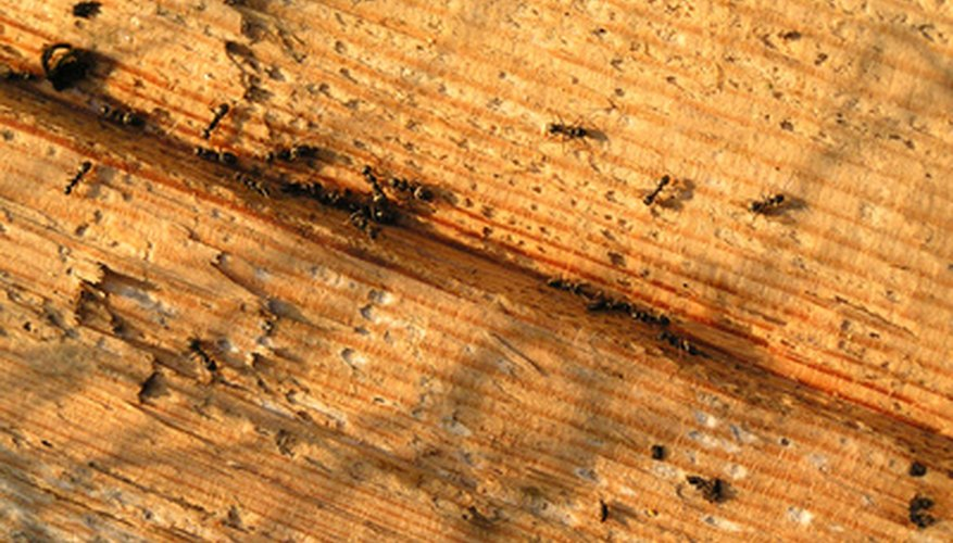 Ants become a nuisance when they begin to take over your yard and home.