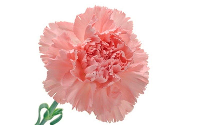 Carnation plants benefit from regular dividing.