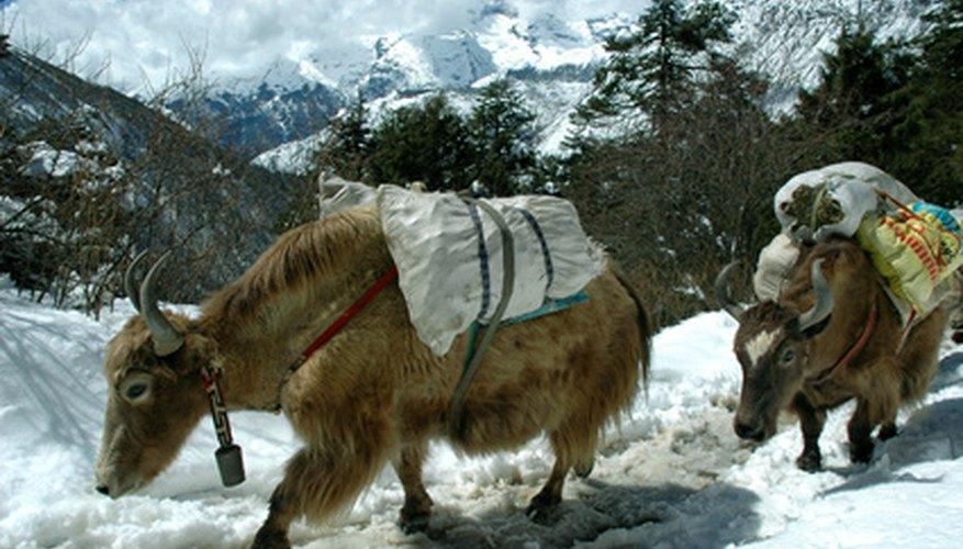 Yaks survive in harsh mountainous climates.