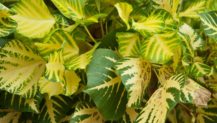 Ficus elastica with variegated leaves