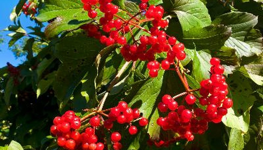 Viburnums bring colourful berries to the fall landscape.