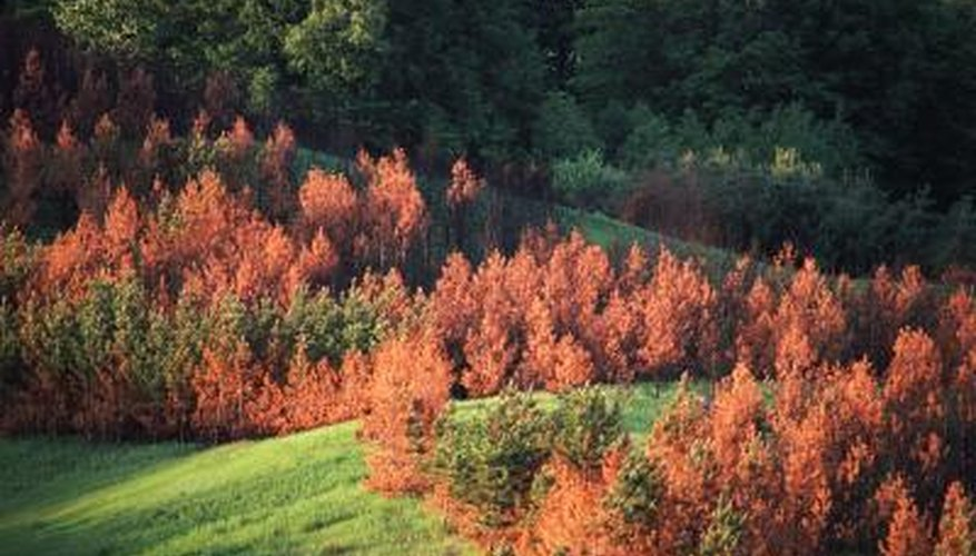 Larch needles, whether on weeping or upright-growing varieties, turn golden-yellow and fall off in autumn.