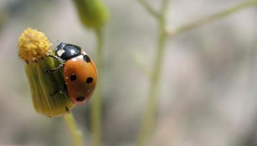 Ladybirds can be found in the garden.