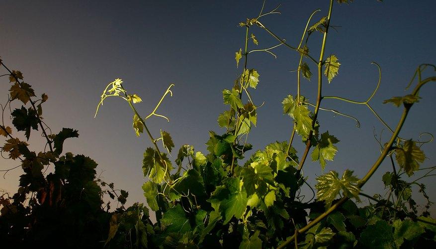 Grape vines at dawn
