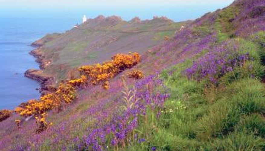 Heather and lavender may naturalise in some areas.