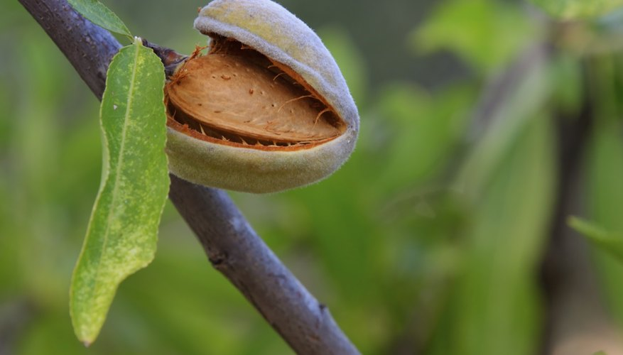 A dlose-up of an almond inside its shell on an almond tree.