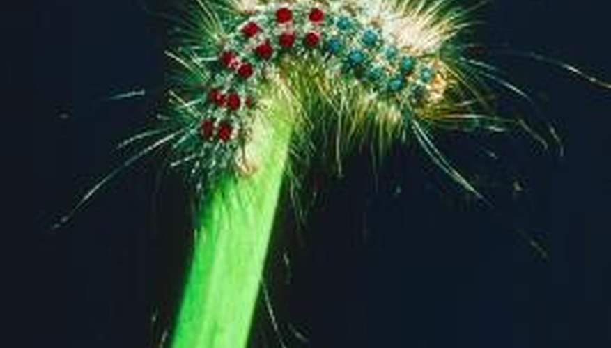 Hairy caterpillars can become a pest in your garden.