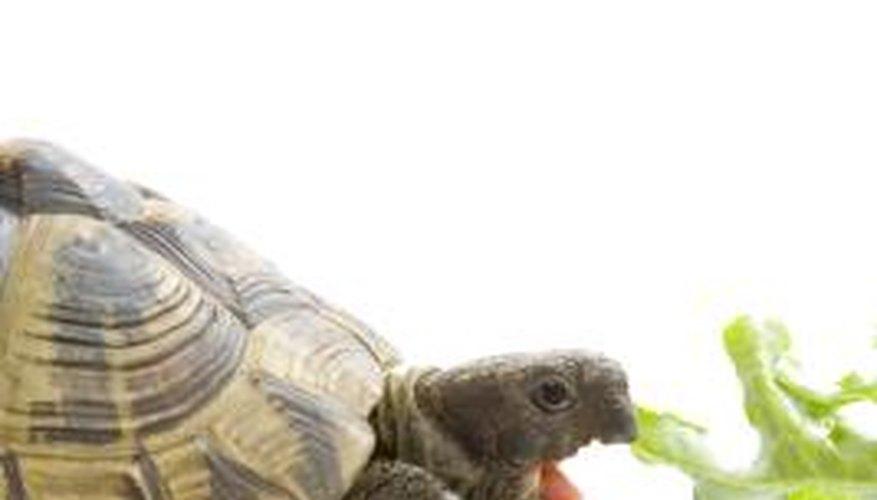 Tortoises use their beaks to chew food.