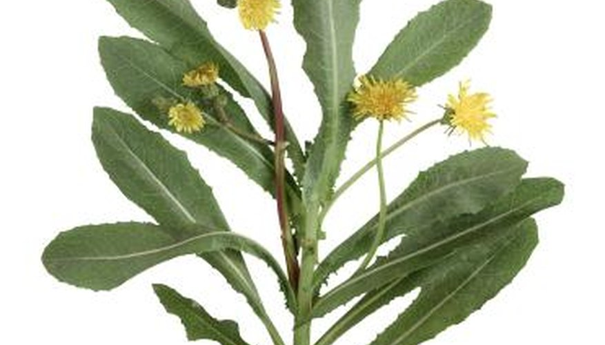 Sow thistle causes allergic reactions in some.