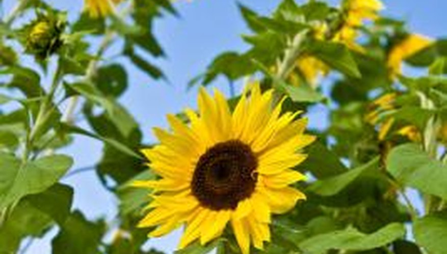 Sunflowers are targets for a number of insect pests.