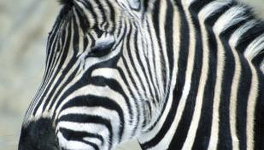 Zebras belong to the horse family, or Equidae.