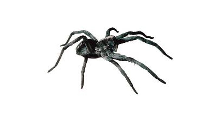 Wolf spiders have characteristics and habits.
