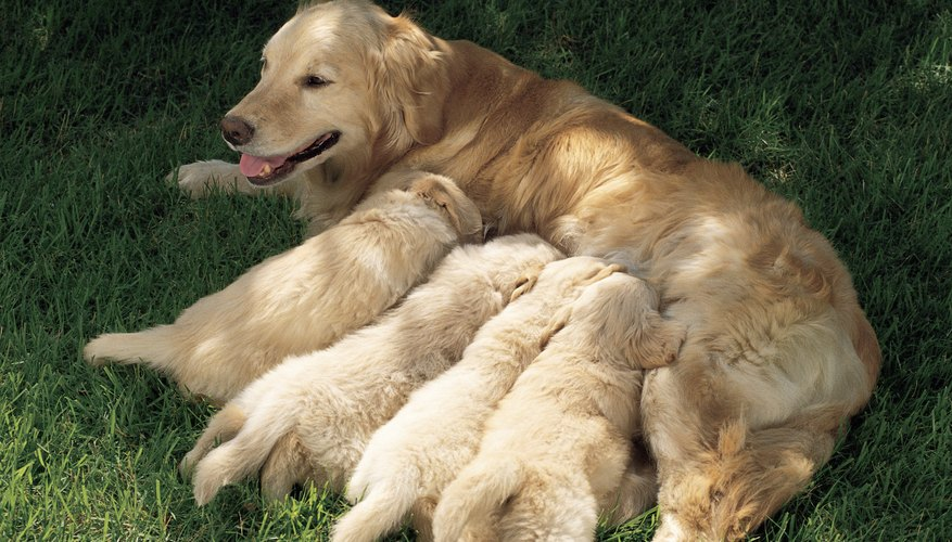 Nursing puppies drains your dog's strength.