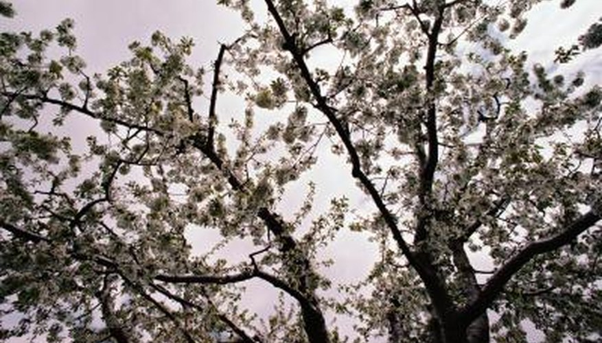 Repair broken apple tree branches with a few simple steps.