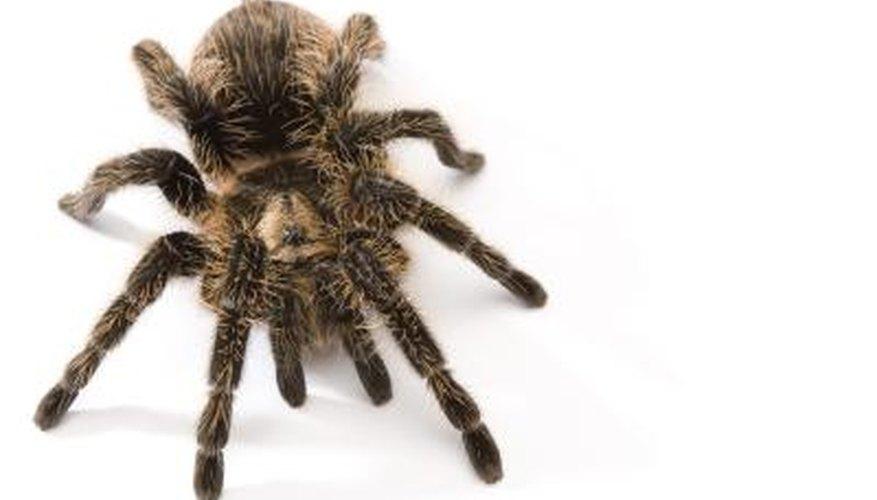 Baby tarantulas are often surprisingly small.