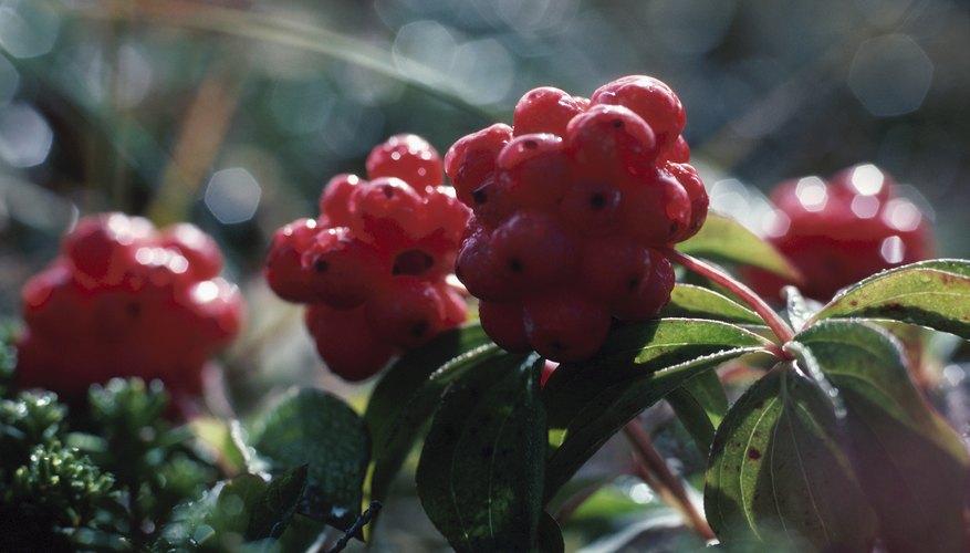 Sambucus nigra - elderberry