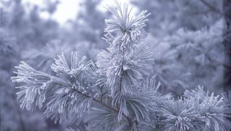 Pine trees have adapted to northern conditions that are inhospitable to many other species.