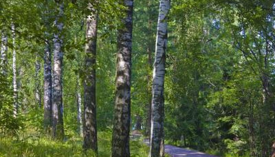 Birch wood can cause symptoms of toxicity in humans and animals.