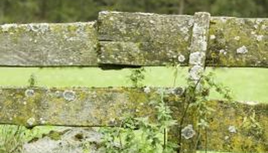 Lichens grow slowly on wood surfaces.
