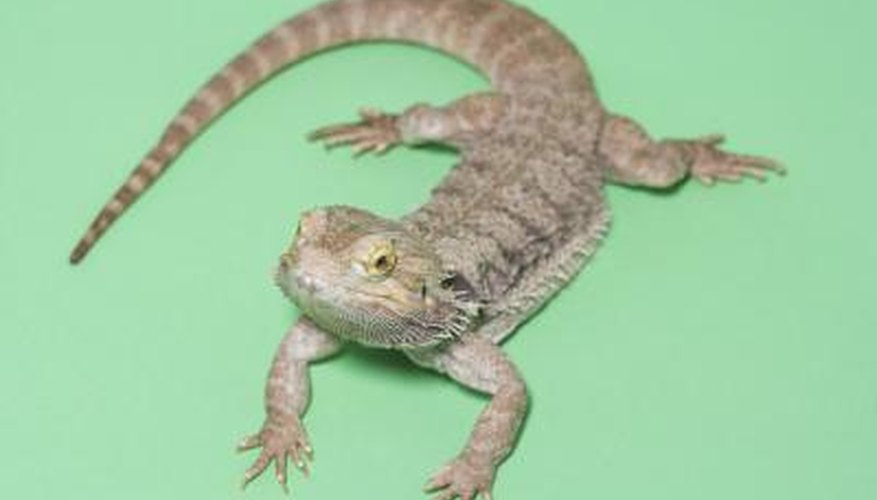 Baby bearded dragons need specialised care and should be set up for it immediately when they are brought home.