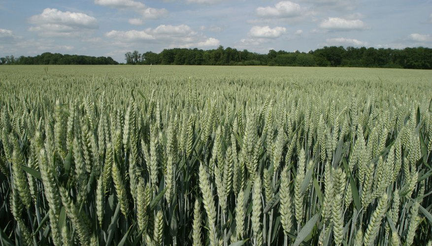Ripening wheat, not yet ready for harvest.