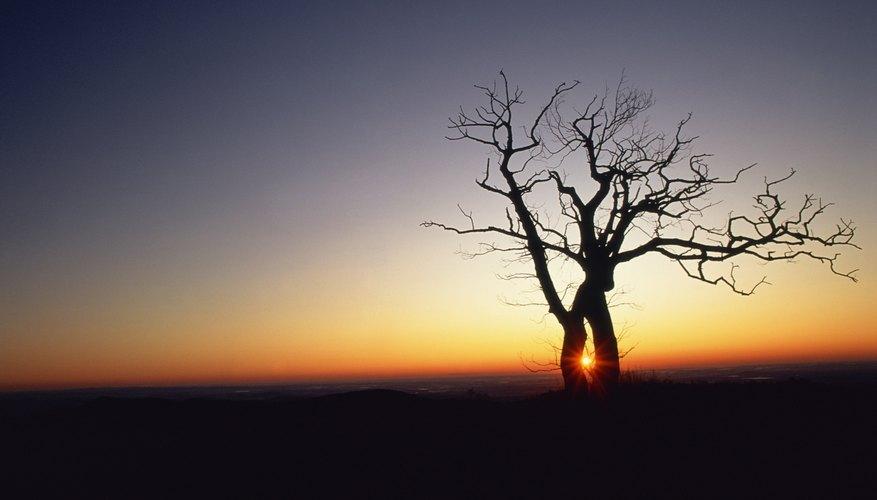 Oak trees were sacred to the Druids.